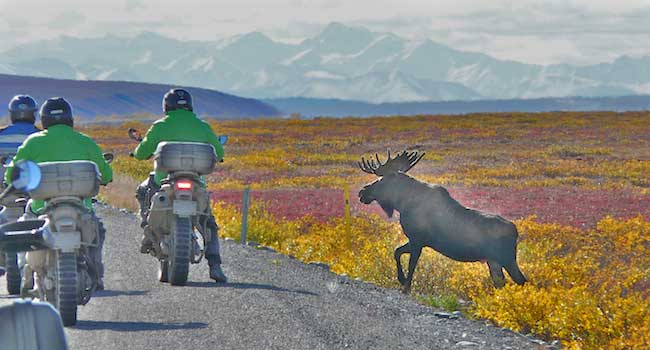 Dalton Highway Moose