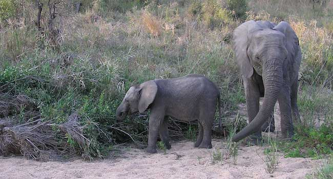 Elephant Cow and Calf - Kruger National Park, South Africa