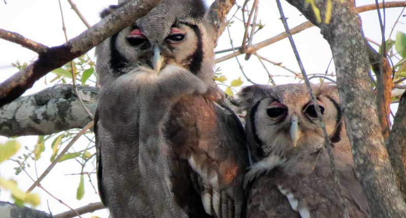 Owls of Kruger National Park