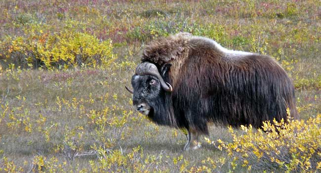 Musk Ox