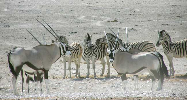 Oryx and Zebra - Namibian Desert