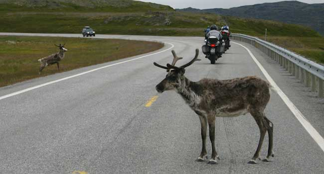 Reindeer Crossing?