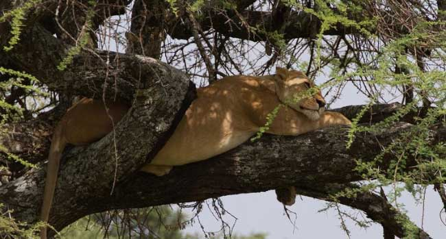 Treed Lion - The Serengeti