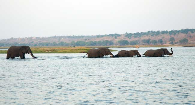 Elephant River Crossing - Chobe National Park, Botswana