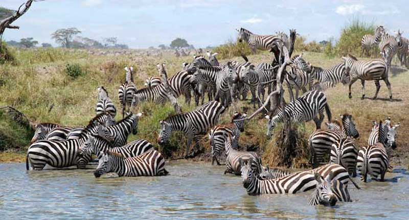 Zebras Swimming - the Serengeti