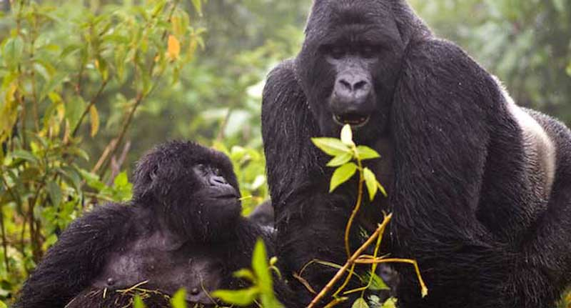 Gorillla Safari - Rwanda