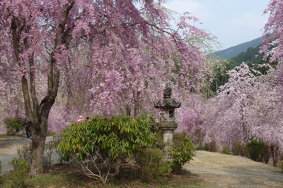 Japan Cherry Blossom Motorcycle Tour
