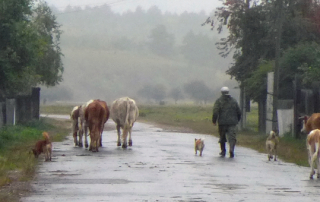 Walking the cows in Chikoy, Russia (Чикой)