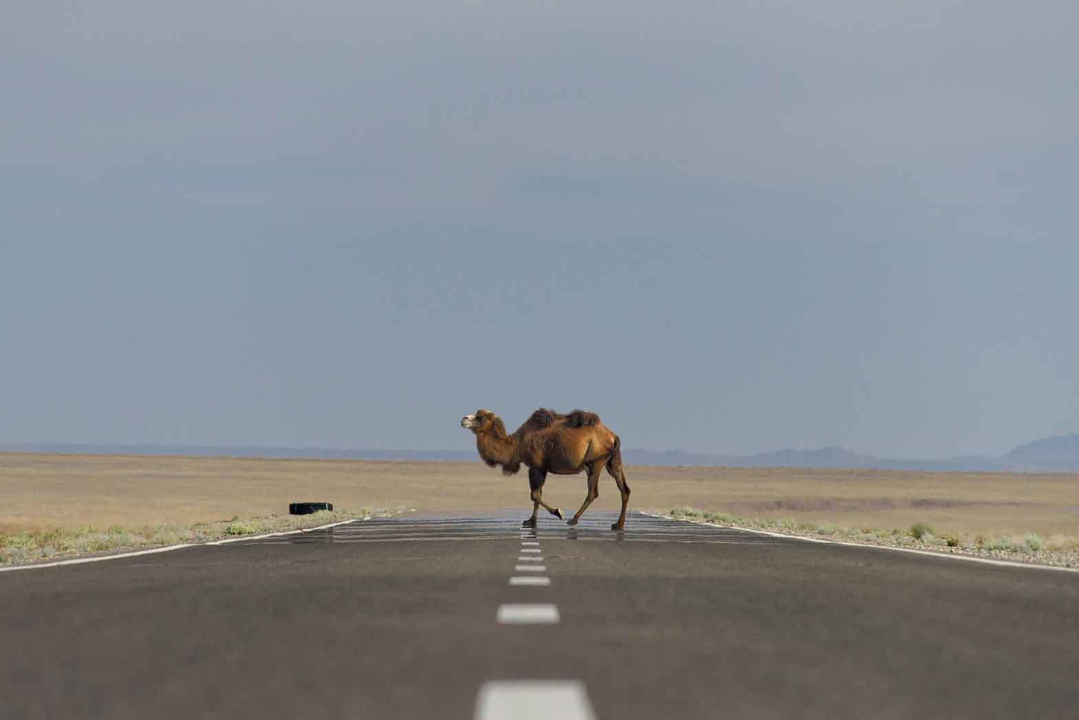 Camel road crossing