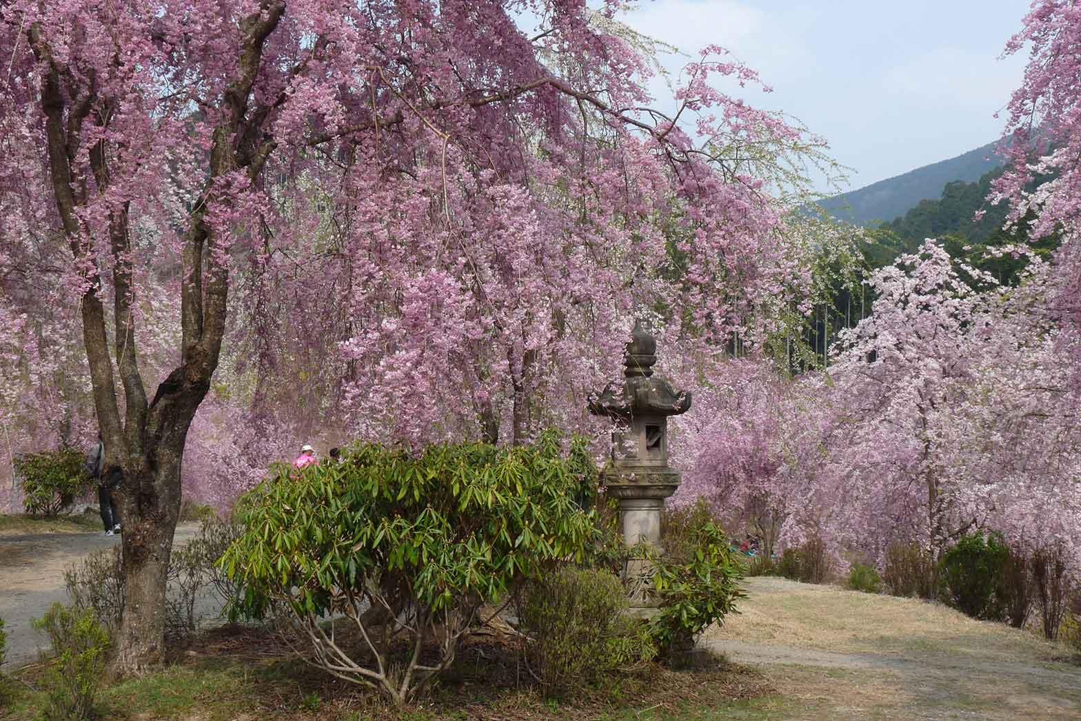 Cherry Blossom, Yoshino