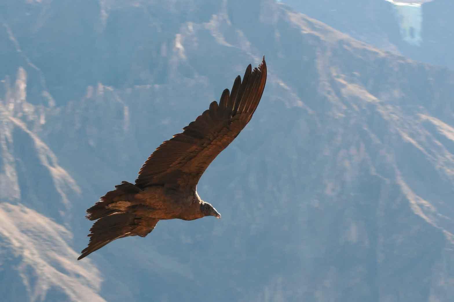 The Majestic Condor