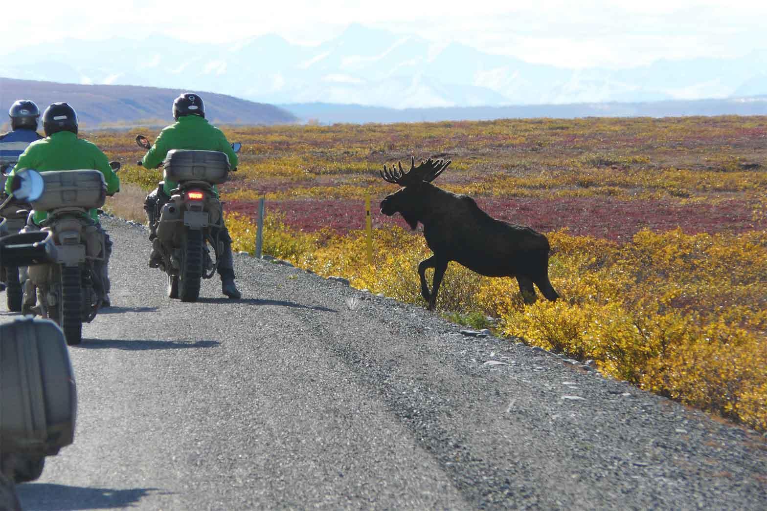 Dalton Highway moose