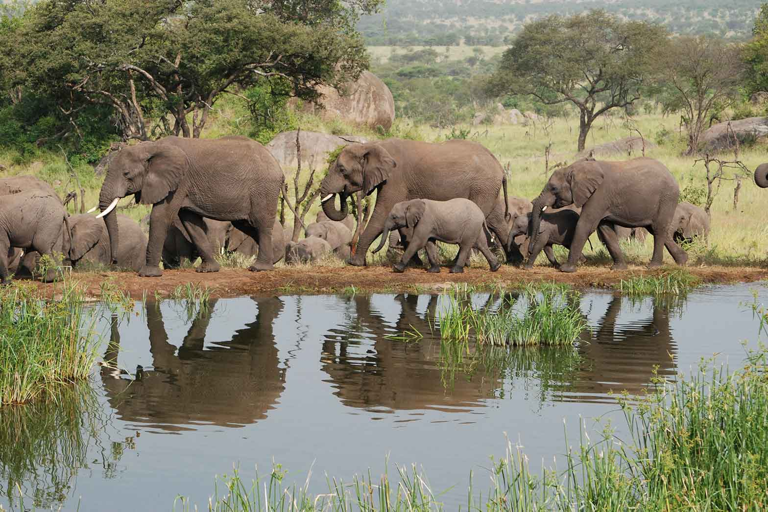 Elephants in the Serengheti