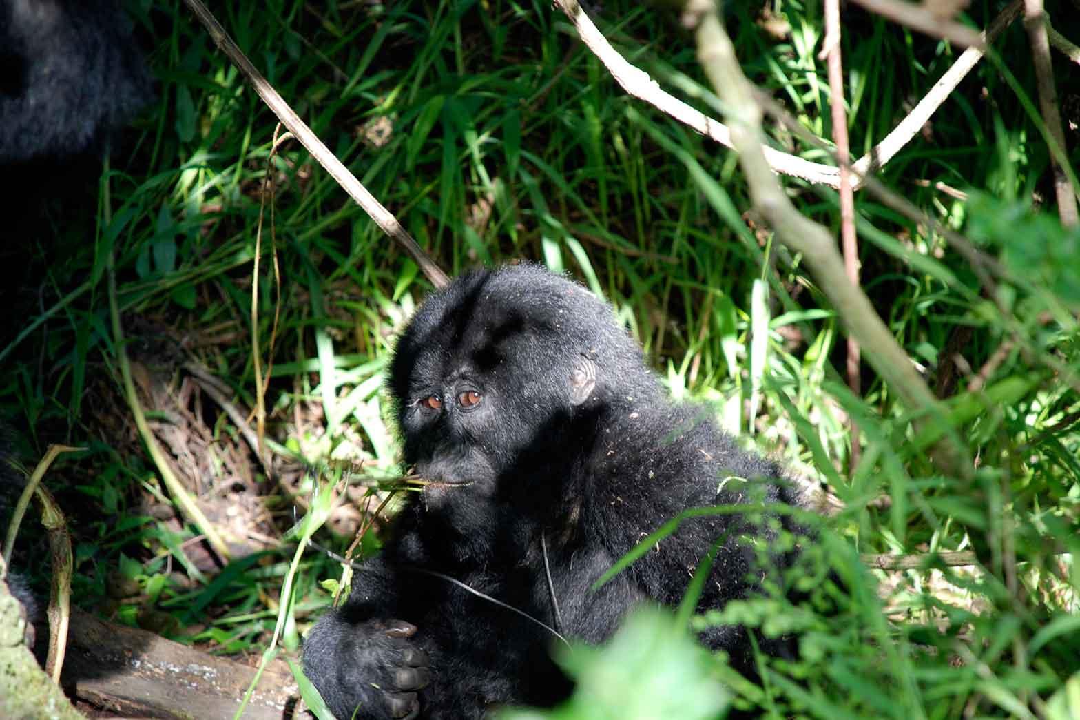 Gorilla Safari - Rwanda