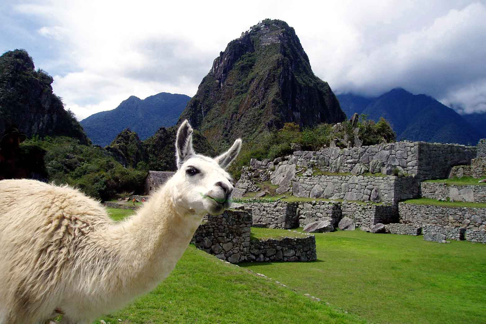 Machu Picchu Pet Llama