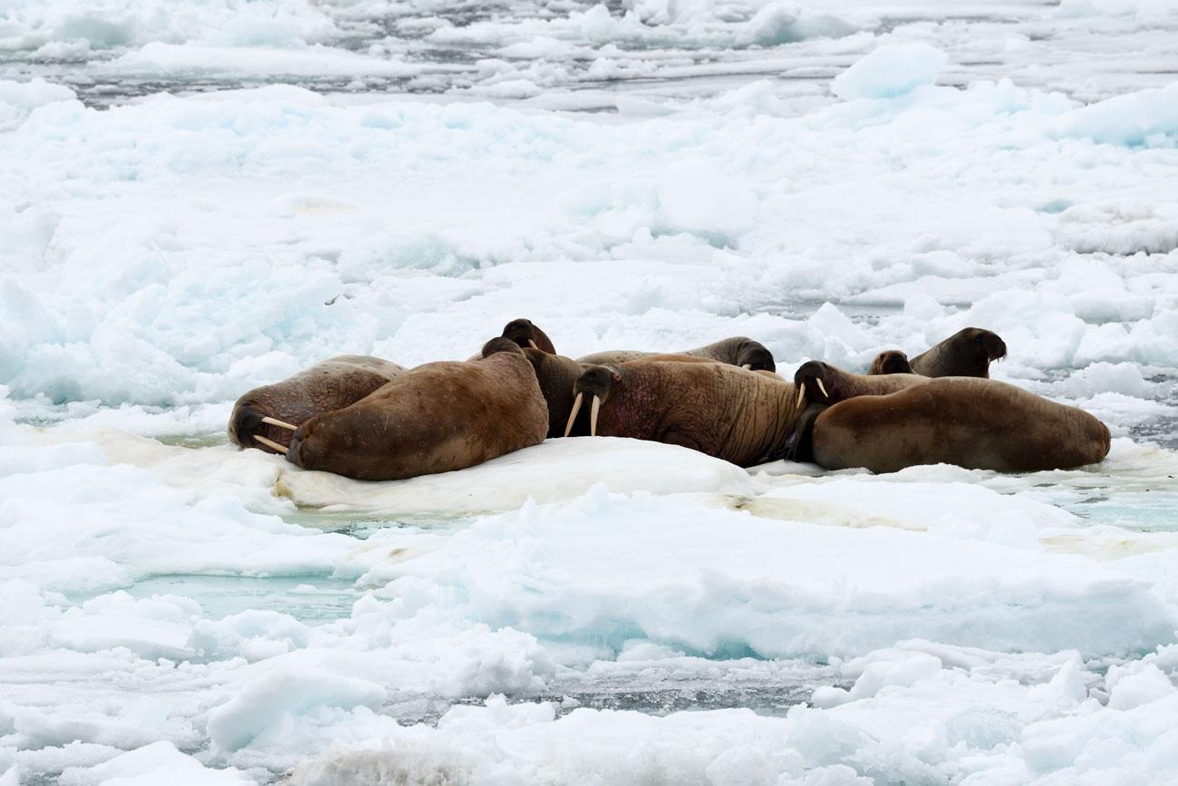 Wild Walruses