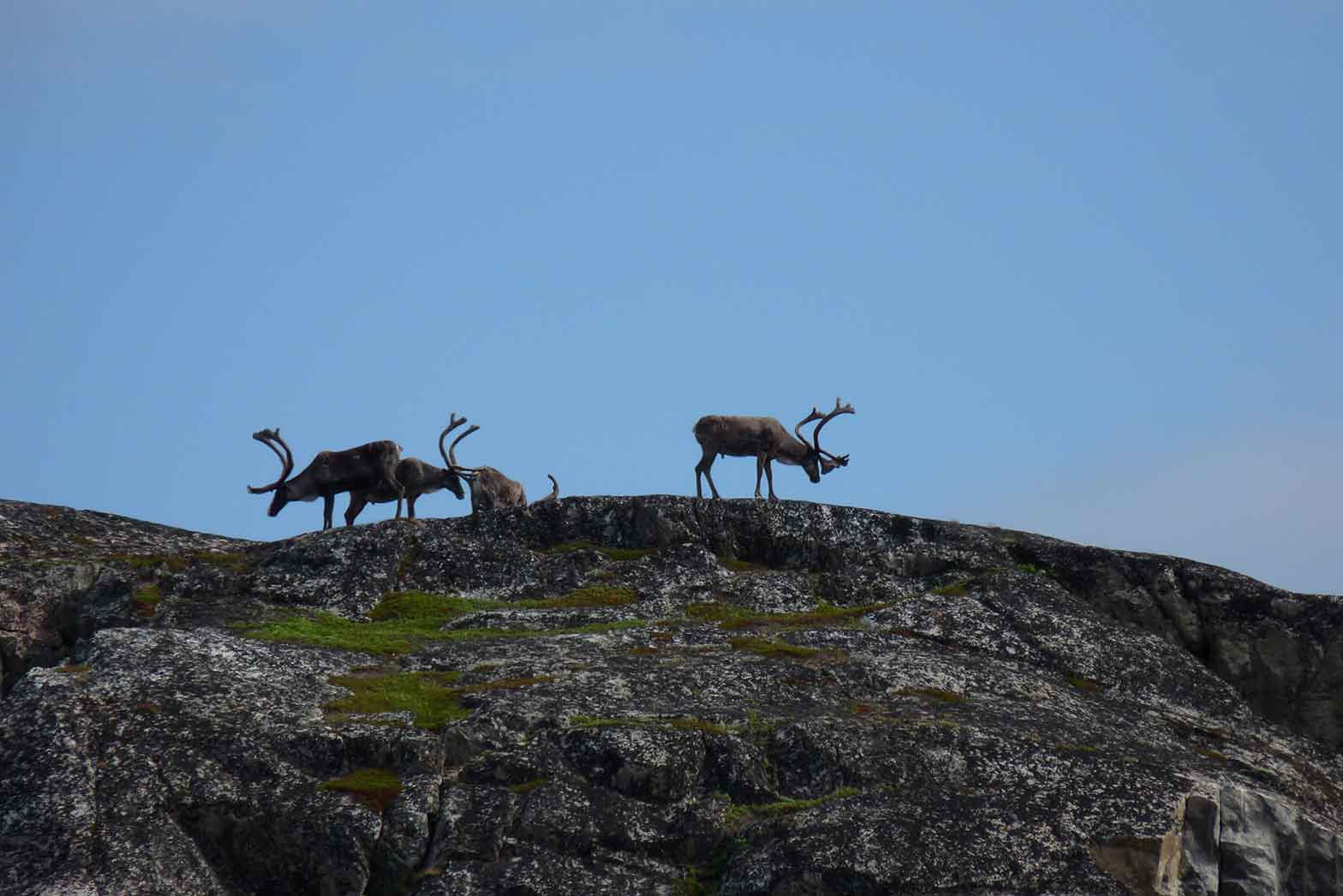 Reindeers near the village of Kirkenes