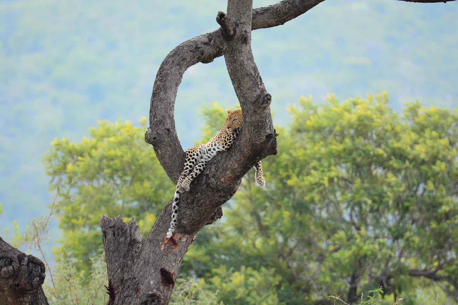 Treed leopard - Kruger National Park