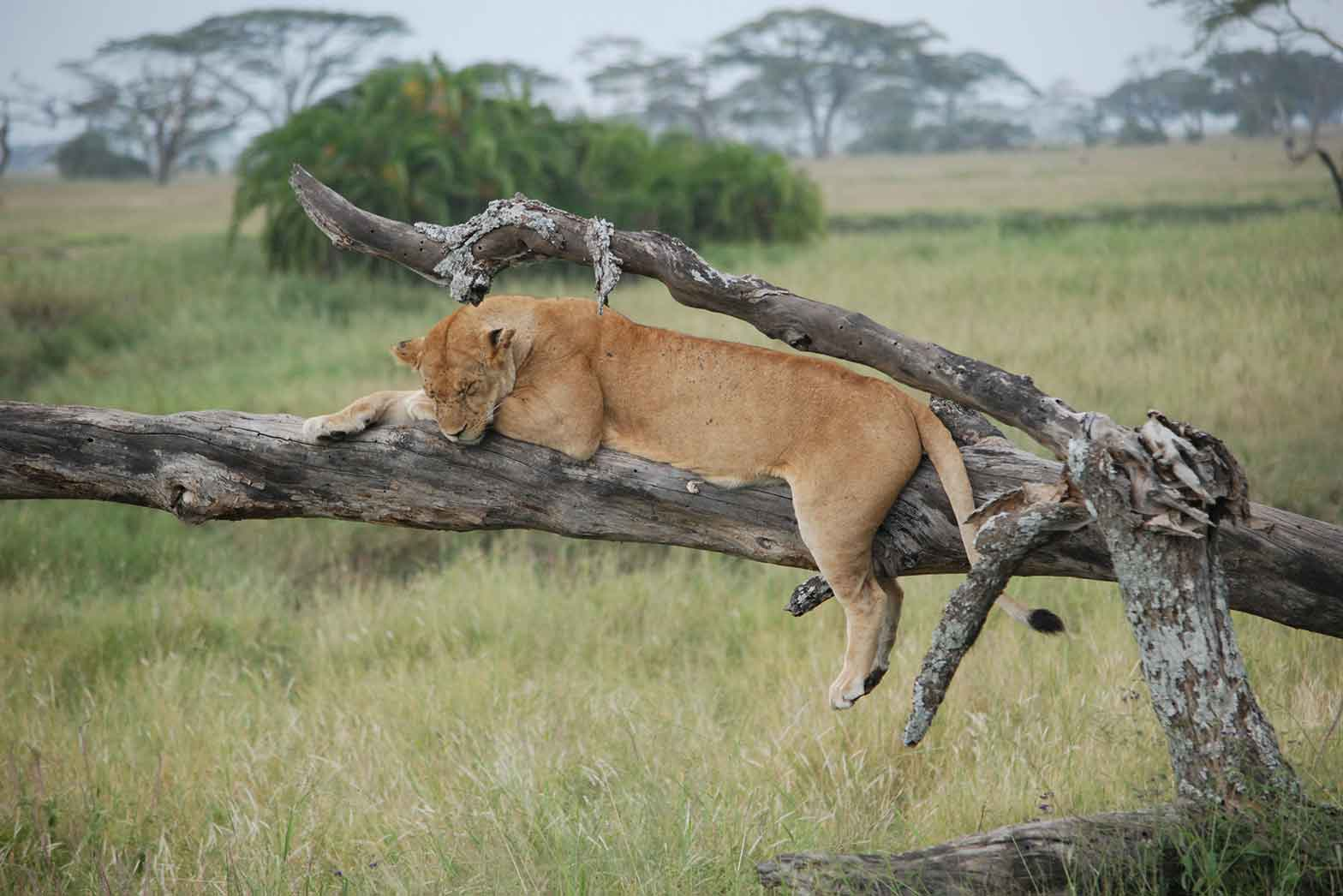 Treed lion, Out of Africa