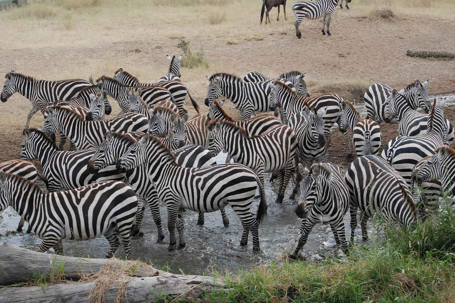 Zebra Watering Hold - The Serengeti