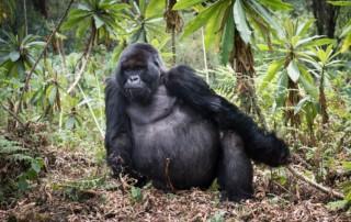 Gorilla Trekking by Don Toothman