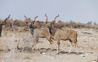 African Call of the Wild Motorcycle Tour 2016, kudu bulls