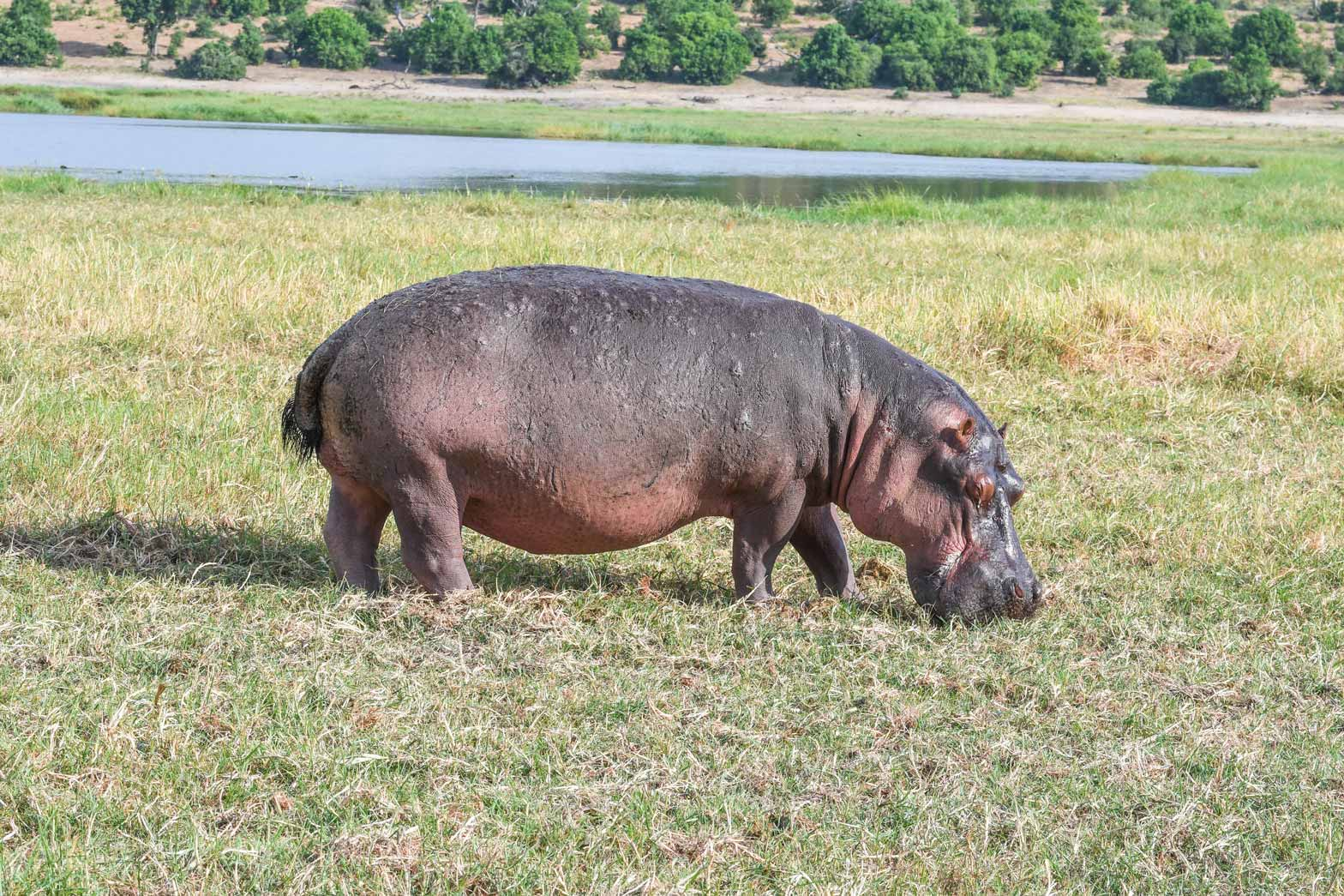 Hippo grazing on the Chobe River