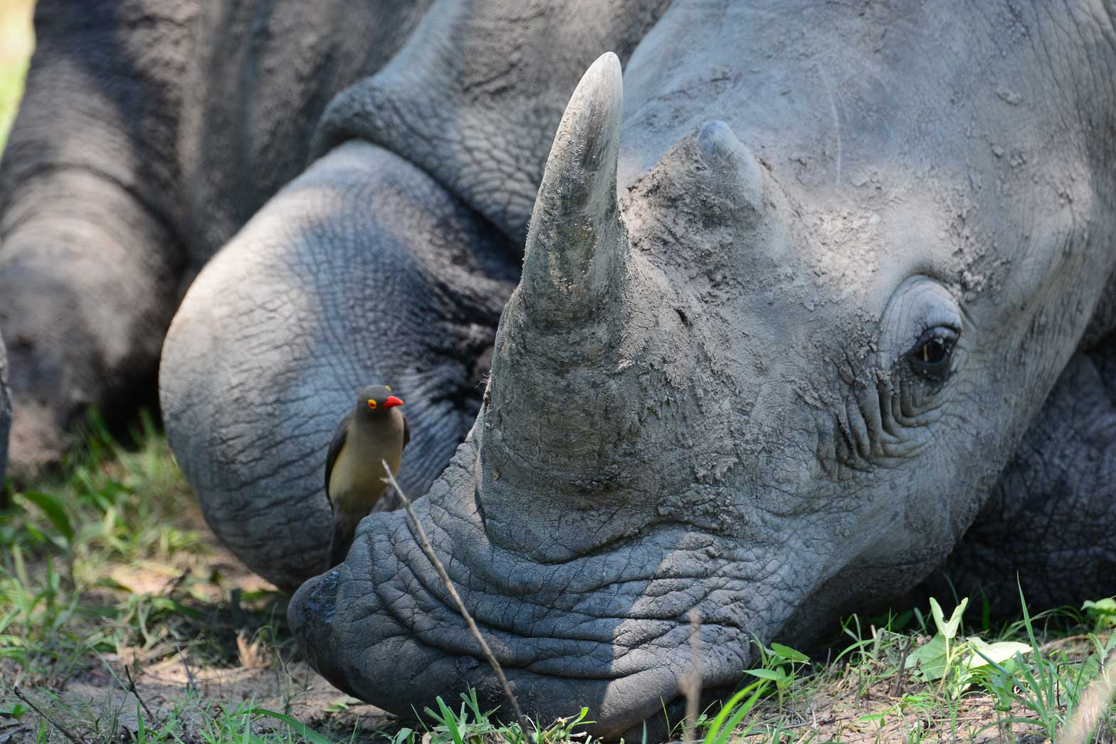 Visiting with a rhino